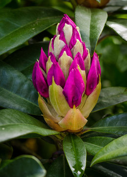 Close-up of an isolated rhododendron bud displaying   its deep magenta colored petals just before it starts blooming into a cluster of gorgeous flowers.