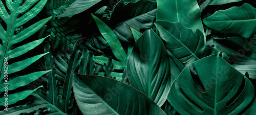 Wall mural closeup nature view of green monstera and fern leaf background. Flat lay, dark nature concept, tropical leaf