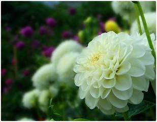 Photo sur Plexiglas Dahlia Close-up Of White Dahlia Blooming Outdoors