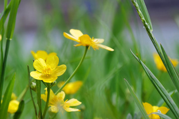 Creeping buttercup blooming in the garden (Ranunculus repens)