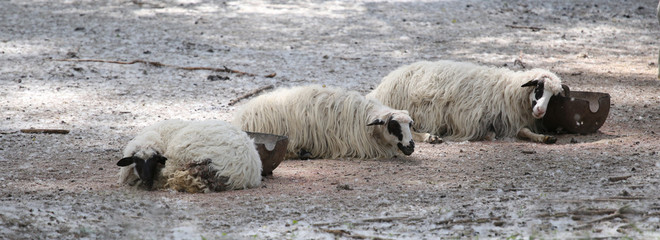Three sheep in a corral