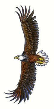 Watercolor drawing flying eagl with opened wings