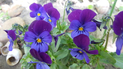 Wall Murals Pansies High Angle View Of Purple Pansies Blooming Outdoors