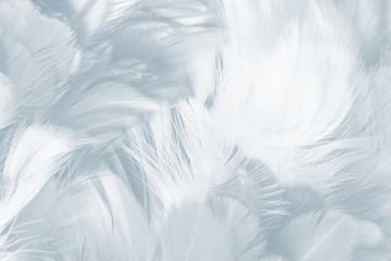 Wall Mural - Beautiful white baby blue colors pastel tone feather pattern texture cool background for decorative design wallpaper and other