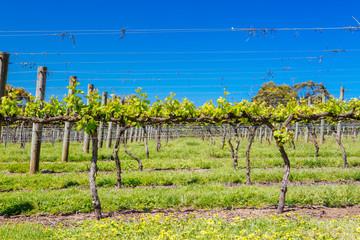 Wall Murals Yellow Mornington Peninsula Vines in Australia