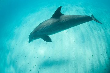 A Common Bottlenose dolphin, Tursiops truncatus, cruises playfully through the clear, warm water near the Turks and Caicos Islands. These large dolphins can reach up to 1400 pounds in weight.