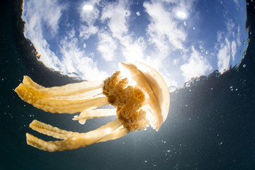 A golden jellyfish, Mastigias papua, swims just below the surface in Raja Ampat, Indonesia. This jelly has a symbiosis with zooxanthellae, a photosynthetic dinoflagellate.