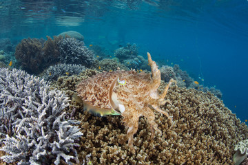 A Broadclub cuttlefish, Sepia latimanus, hovers above healthy corals in Raja Ampat, Indonesia. This remote, tropical region is known for its incredible marine biodiversity.