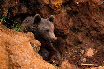 Wall Mural - brown bear in the wild