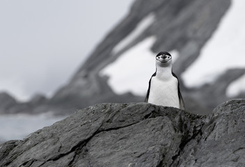 Chinstrap penguin on Point Wild at Elephant Island in Antarctica. This Island has an interesting historical background with the famous Shackleton story with the Endurance. Fototapete