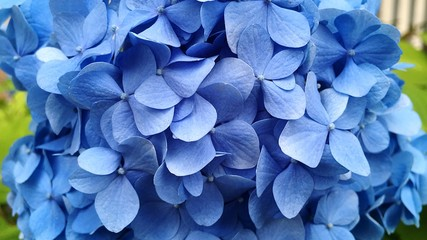 Fototapeta Close-up Of Purple Hydrangea Flowers obraz