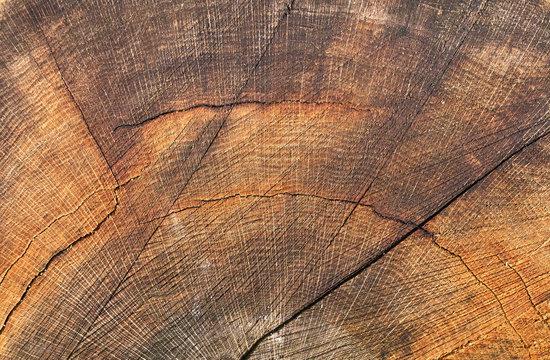 Old wooden oak tree cut surface. Brown tones of a felled tree trunk