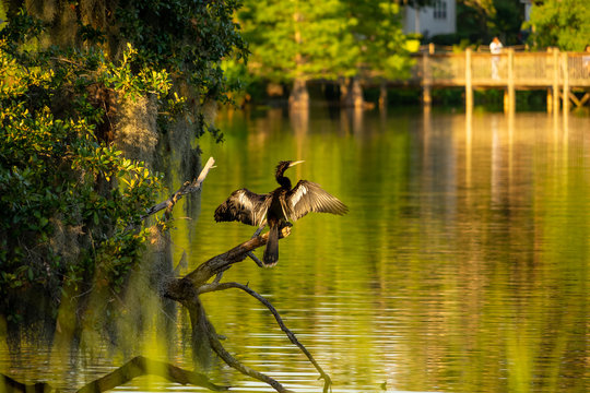 nature, animal, anhinga, bird, anhinga anhinga, wildlife, beautiful, water turkey, snakebird, water, american darter, natural, florida, darter, feathers, outdoor, wild, lake, plumage, beak, birds, anh