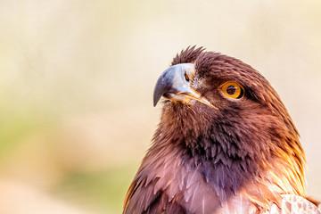 Closeup Golden Eagle Bird Blurred Background