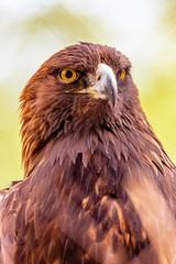 Closeup Golden Eagle Bird Green Background