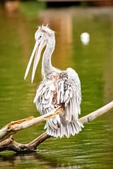 Pelican Bird Resting on Branch