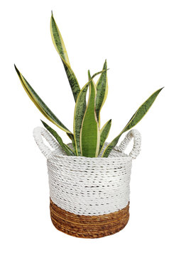 plant in wicker pot busket isolated on white background. Details of modern boho, tropical , bohemian style . eco design interior
