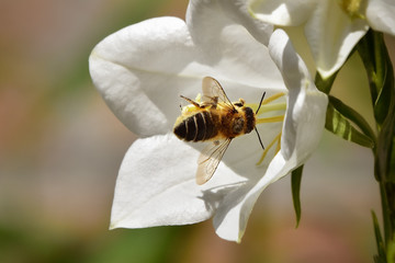 Honey bee on white flower stamens collecting nectar, nature photography shallow depth of field