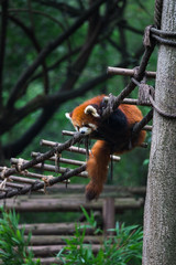 Printed kitchen splashbacks Panda Red panda (lesser panda) resting on small wood rope bridge in Research Base of Giant Panda Breeding, Chengdu, China on a hot, summer day