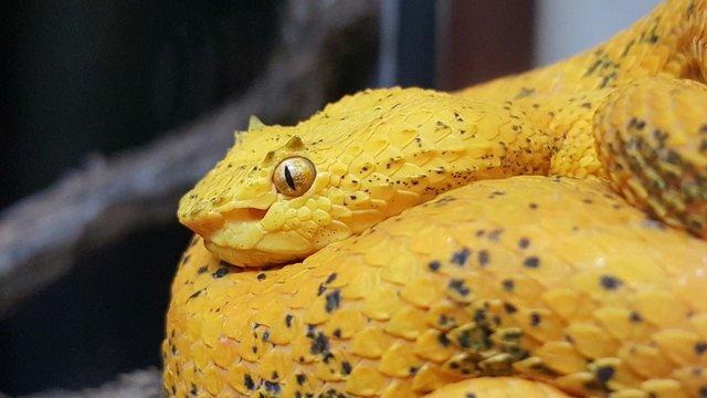 Close-up Of Bothriechis Schlegelii