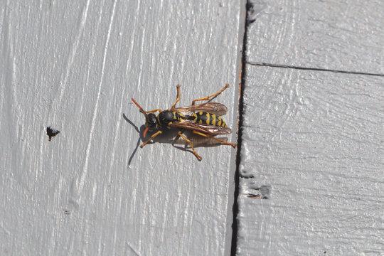 Wasp on wooden background in a garden