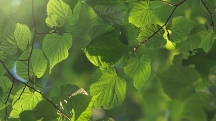 Wall Mural - Fresh spring green leaves on the wind background. Light breeze sways the leaves in the morning sun. UHD, 4K