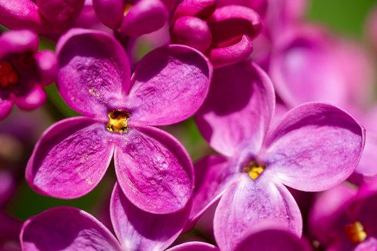 Blossom syringa flower