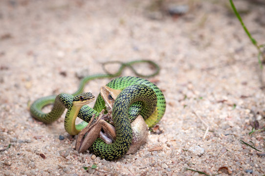 Green palm snake eating a frog
