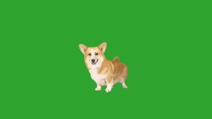 Fototapete - welsh corgi fun waving tail on green screen