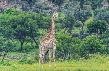 A single giraffe in the wild in a South African game reserve, with natural bush in the background