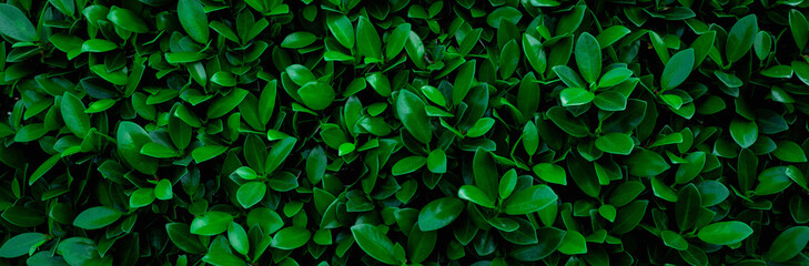 Wall Mural - closeup nature view of green leaf in garden, dark wallpaper concept, nature banner background, tropical leaf
