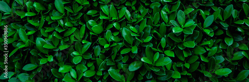 Wall mural closeup nature view of green leaf in garden, dark wallpaper concept, nature banner background, tropical leaf