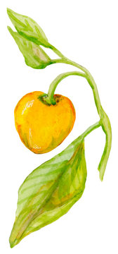 Watercolor hand drawn branch with little yellow pepper and leaves. Isolated on the white background