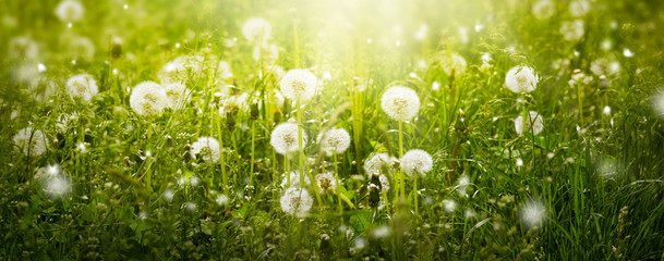 Wall Mural - Dandelions flowers field in fresh clean green grass and sun rays, mysterious spring or summer eco background with blowballs lawn on a sunny day, wide panoramic banner