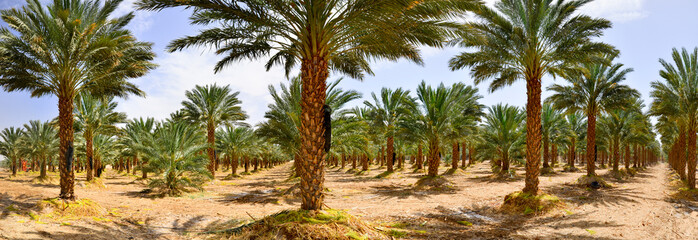 Plantation of date palms, agriculture industry in desert areas of the Middle East