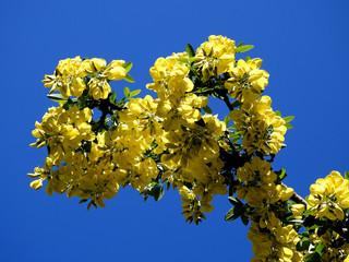 roślina krzew złotokap zwyczajny spotykany w parkach i ogrodach miasta Białystok na Podlasiu w Polsce