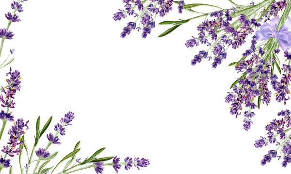 Lavender flowers isolated on white background. Watercolor botanical illustration