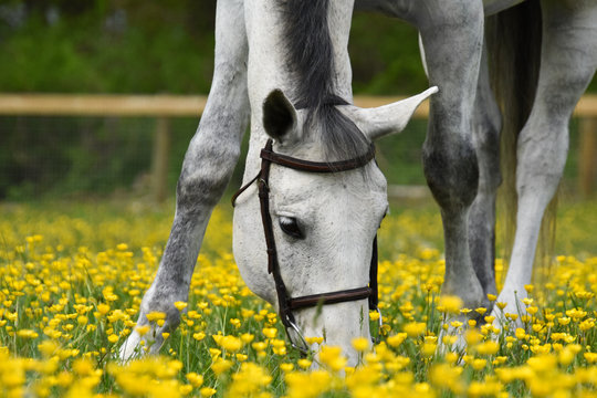White horse in yellow buttercup field
