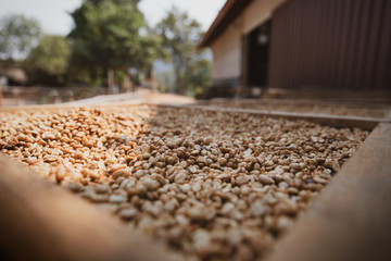 Close up of drying processing of coffee after skin and pulp are removed by the sun in plastics dome but some or all of the mucilage (Honey) remains.