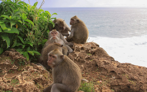 Group of five Macaques grooming at Uluwatu temple