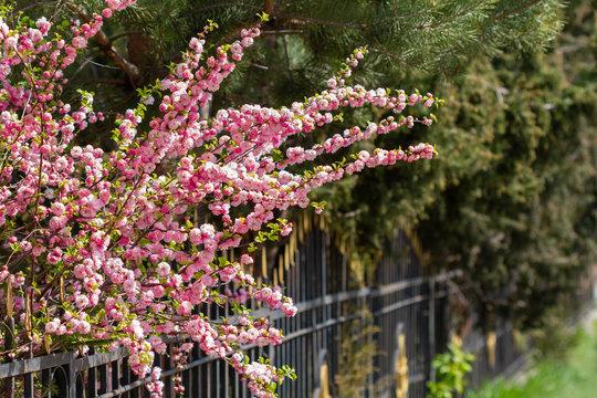 Sakura tree blooms in spring