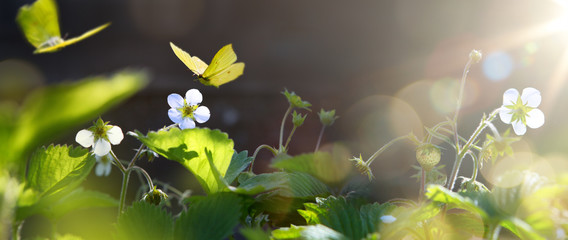 art blooming wild strawberry flower in sunny summer meadow. Beautiful summertime nature background;