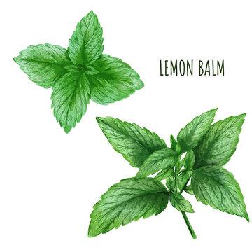 Watercolor lemon balm leaves, tea plant, hand drawn
