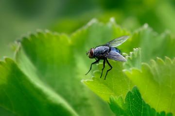 Black fly on green strawberry leaf