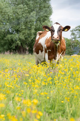 Aluminium Prints Cow red and white spotted cow in meadow with yellow buttercup flowers