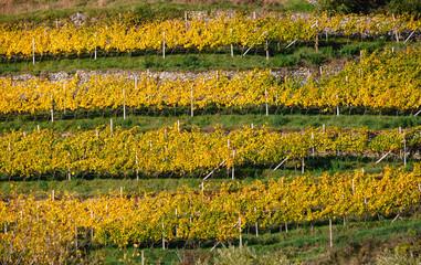 Beautiful orderly terraced vineyard. Sunny colorful autumn  scene, Sudtirol, Italy