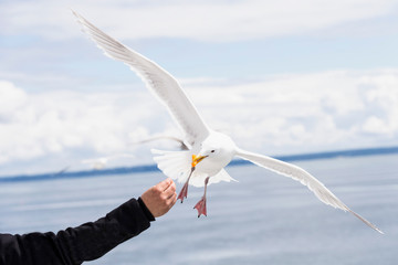 Canada, British Columbia, Vancouver Island, Glaucous-winged Gull (Larus glaucescens) being fed Fotobehang