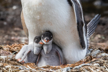 Close up of gentoo penguin with chicks on nest at Gold Harbor