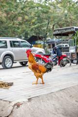 Vietnam, Hà Nội, Hanoi, Stadtteil Cong Vi Ba Dinh / Q. Ba Dính, ein freilaufender Hahn auf dem Bürgersteig