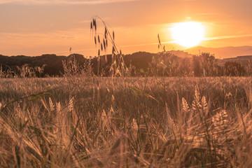 Puesta de sol en campo de trigo
